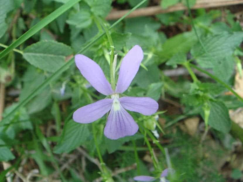 La Viola cornuta es una planta de flor