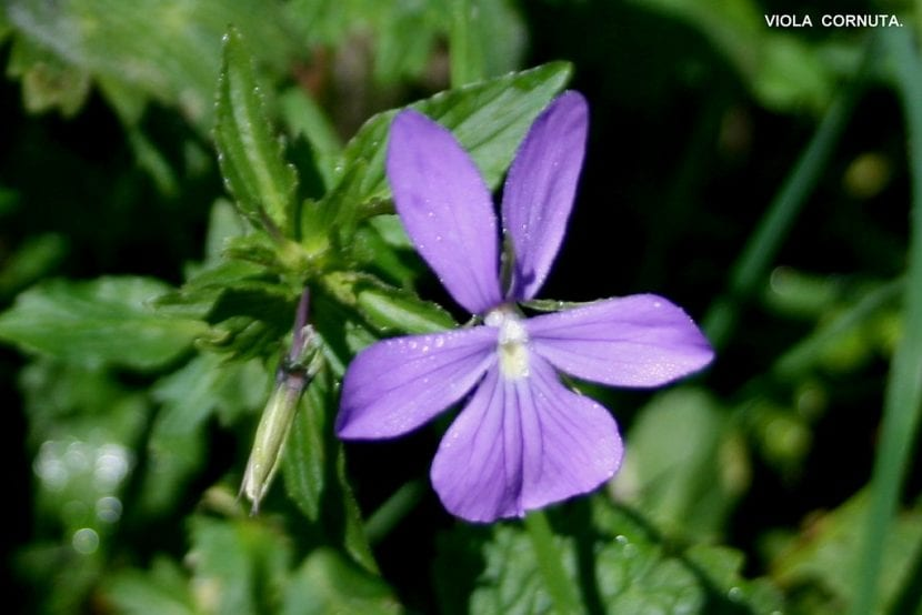 La flor de la Viola cornuta es lila