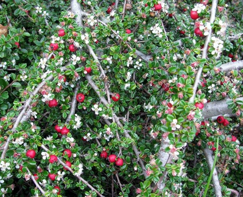 Arbusto Cotoneaster dammeri