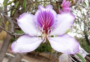 Bauhinia variegata produce flores preciosas