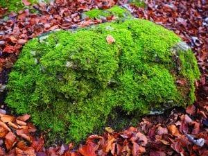 Briófitas en el bosque