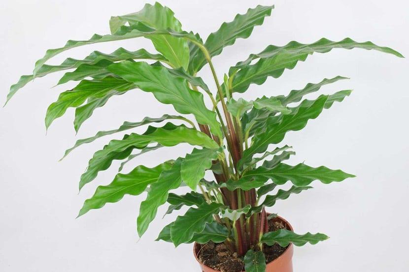 Calathea rufibarba en maceta