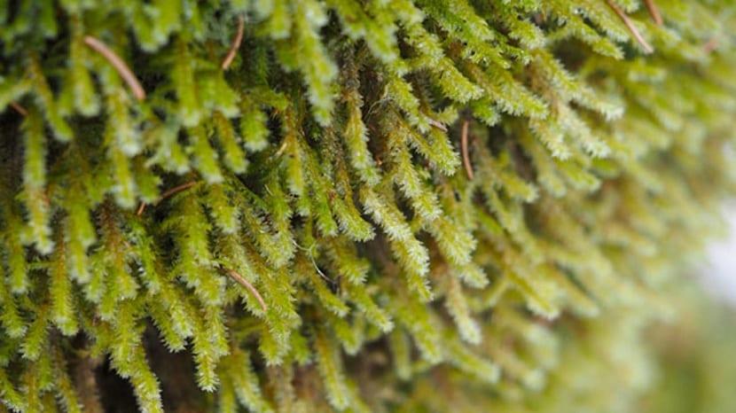 Características de las briófitas