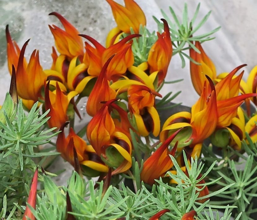 Colores de las flores del pico de loro