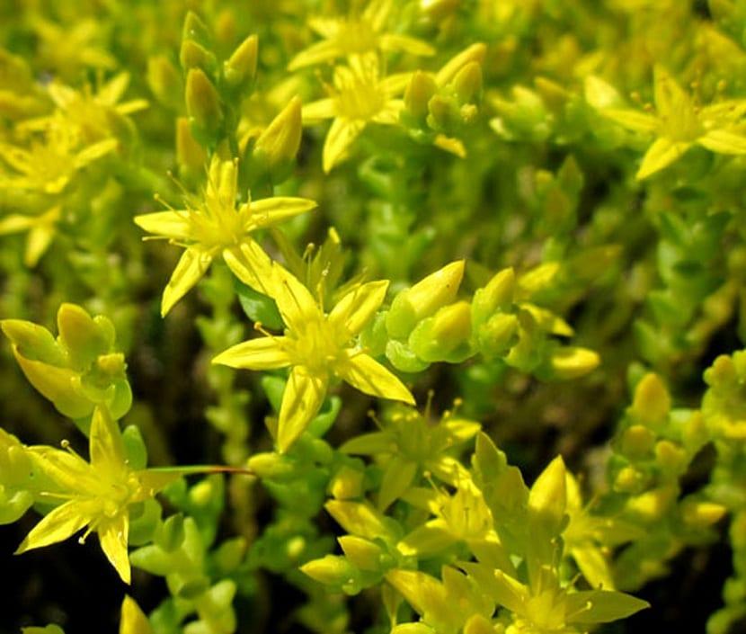 Detalle de la flor dle Sedum acre