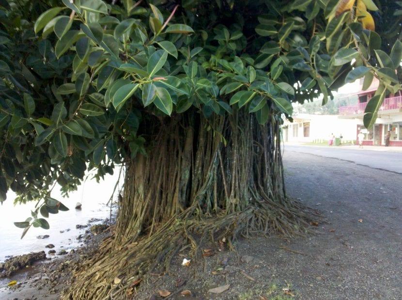 El Ficus elastica es un árbol con raíces aéreas