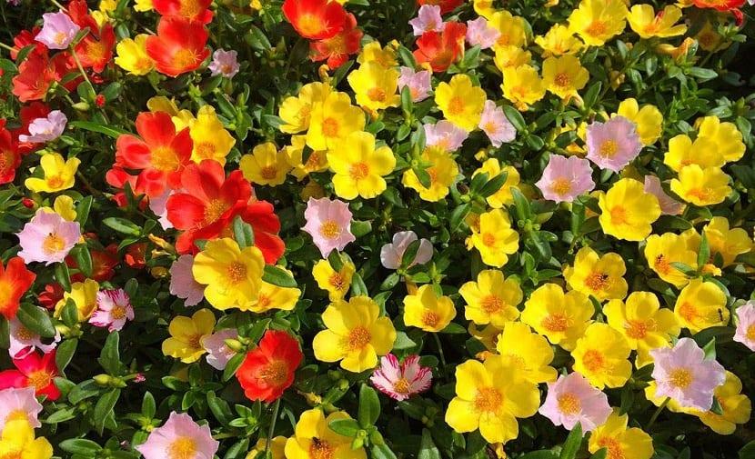 Floracion estival de la Portulaca grandiflora