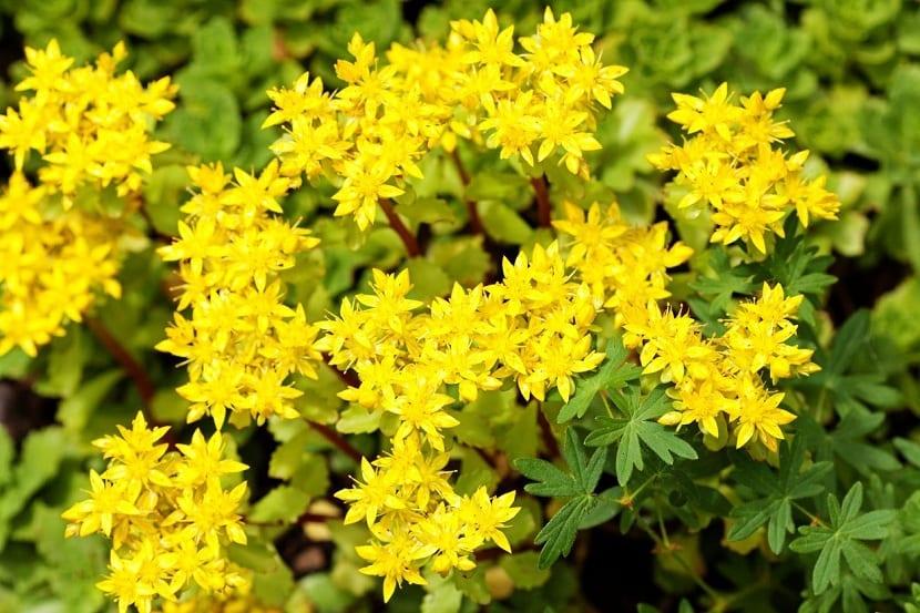 Flores del Sedum acre