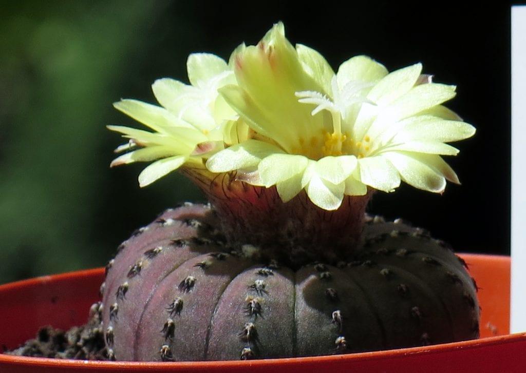 La Frailea castanea es un cactus de colección