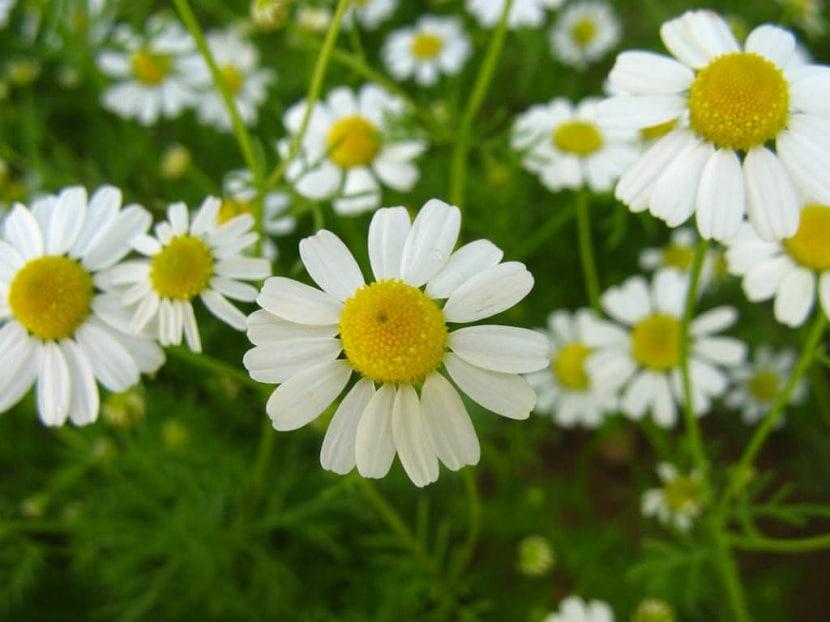 Matricaria chamomilla flores
