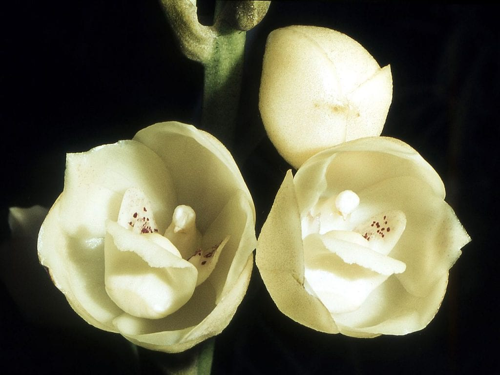 La orquídea flor de paloma es tropical