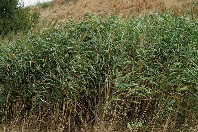 Phragmites australis que crece en camino rural
