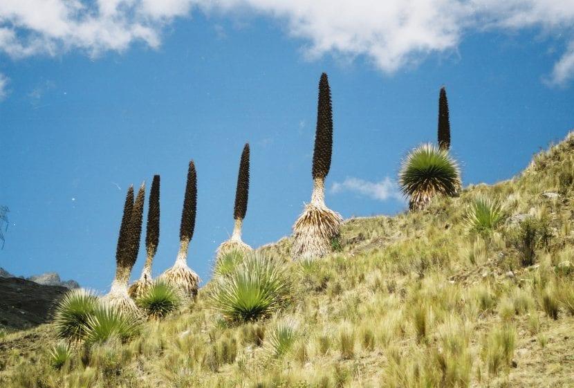 La puya es una planta muy resistente a la sequía