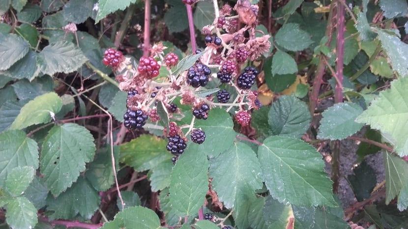Rubus ulmifolius sivestre