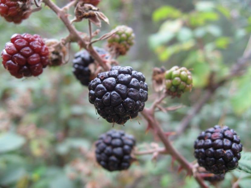Rubus ilmifolius