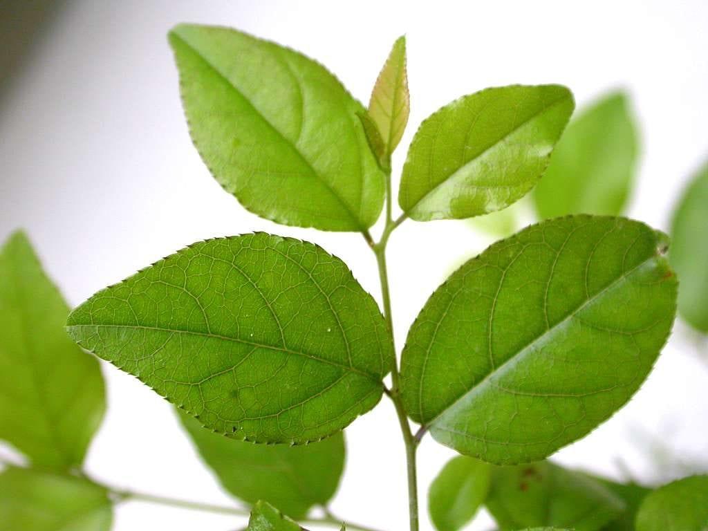 Las hojas de la Sageretia thea son perennes