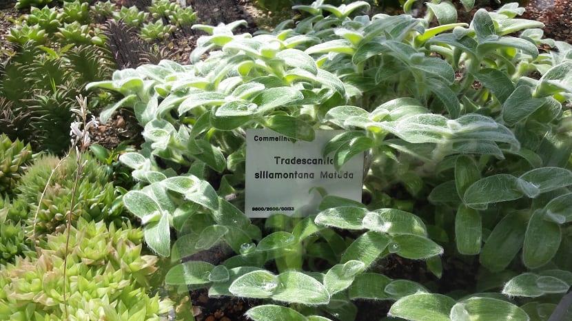 Tradescantia sillamontana plantada en un jardin