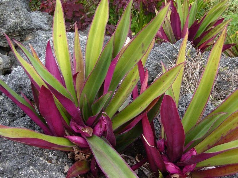 Las hojas de la Tradescantia spathacea son verdes y púrpuras