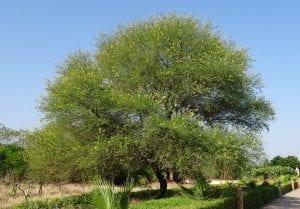 La acacia es un árbol de rápido crecimiento