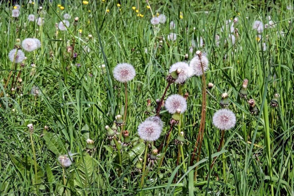 Las hierbas pueden ser un césped precioso