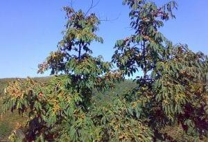 arbol con altas ramas repletas de caquis