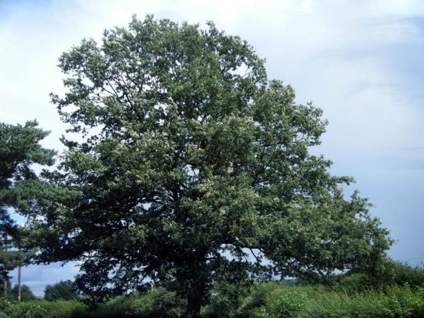 arbol frondoso llamado Quercus cerris