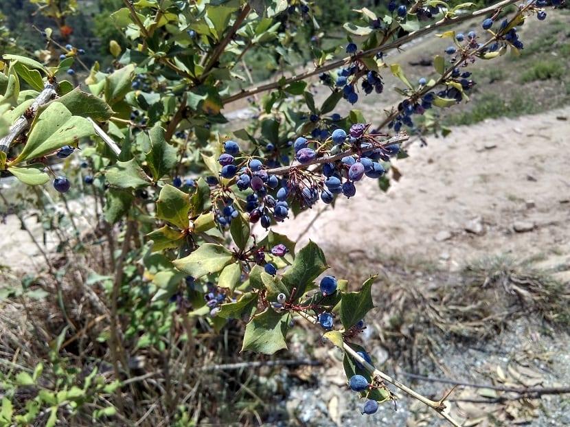 arbusto con bayas moradas