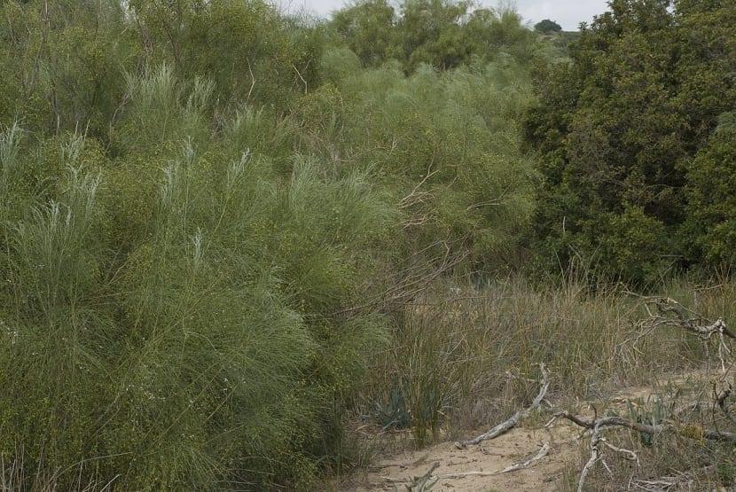 arbusto silvestre llamado Retama monosperma