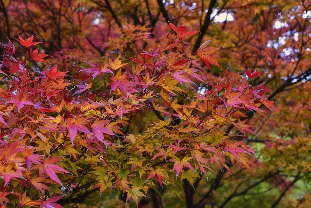 El arce japonés es una planta ornamental