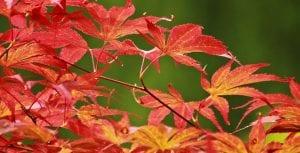 El arce japonés es un arbusto de hoja caduca
