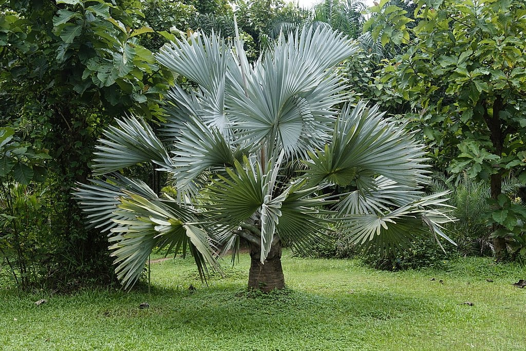 La Bismarckia nobilis es una palmera de gran tamaño