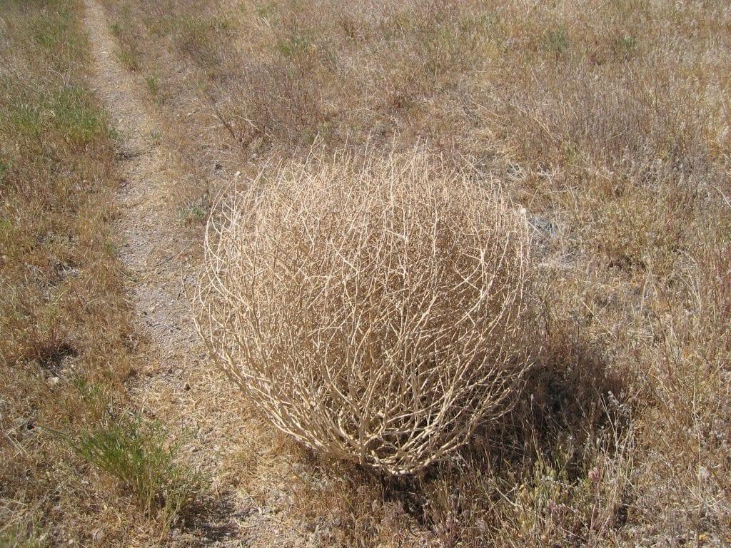 La bola del desierto es un tipo de planta