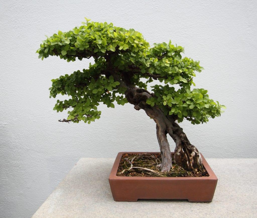 Vista de un bonsai de sageretia