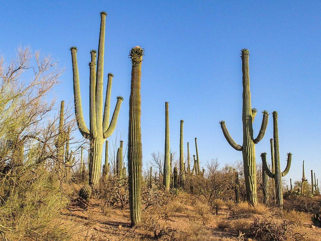 El saguaro es un cactus muy grande