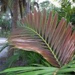 La Chambeyronia macrocarpa es una palmera preciosa