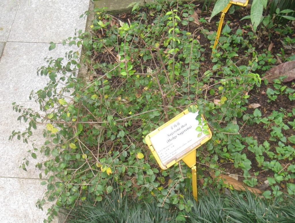 La sageretia es un arbusto perennifolio