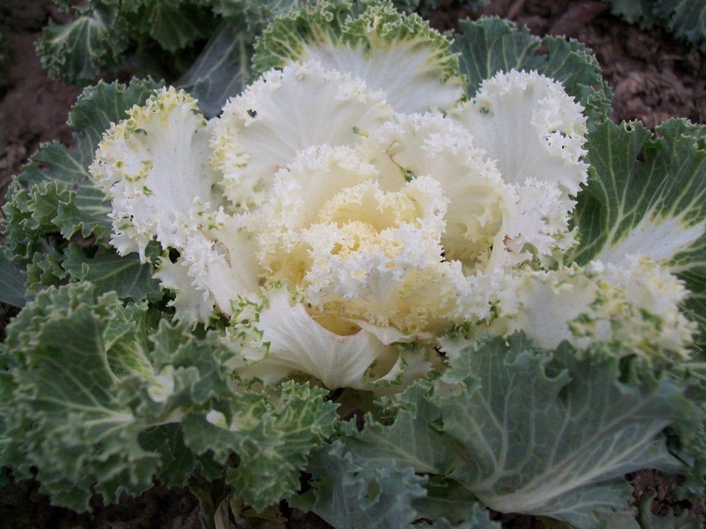 La col ornamental es una planta herbácea