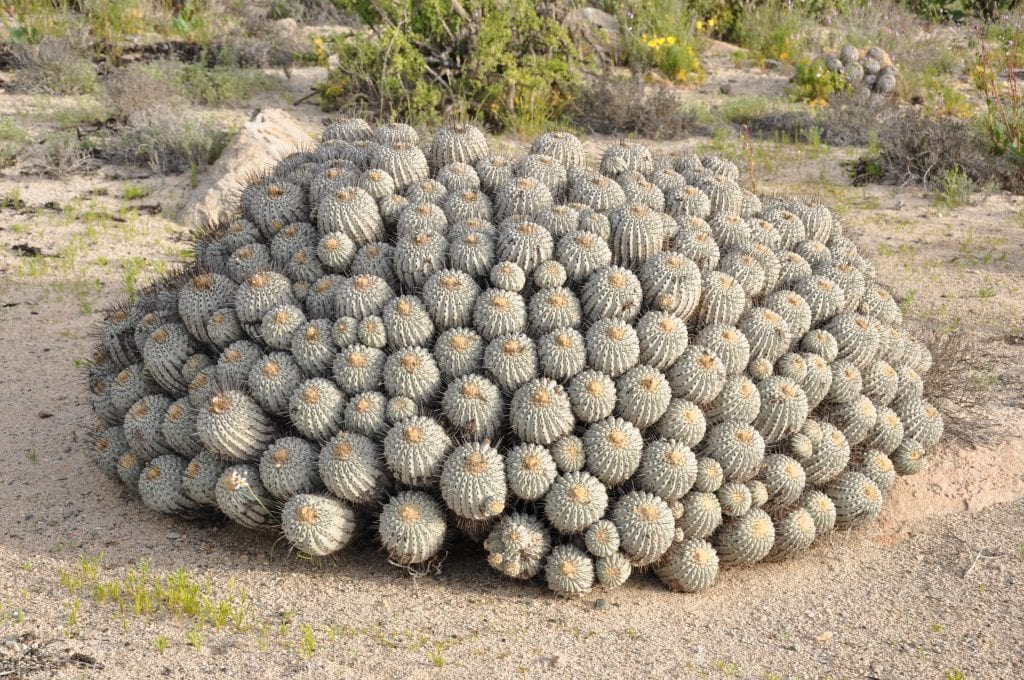 La Copiapoa dealbata es un cactus globoso