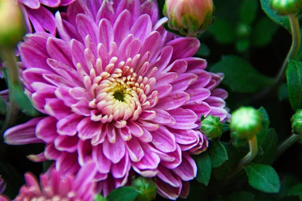 Los crisantemos son flores ornamentales