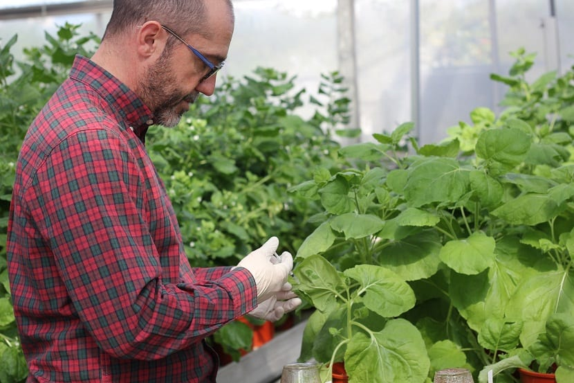 Planta Nicotiana