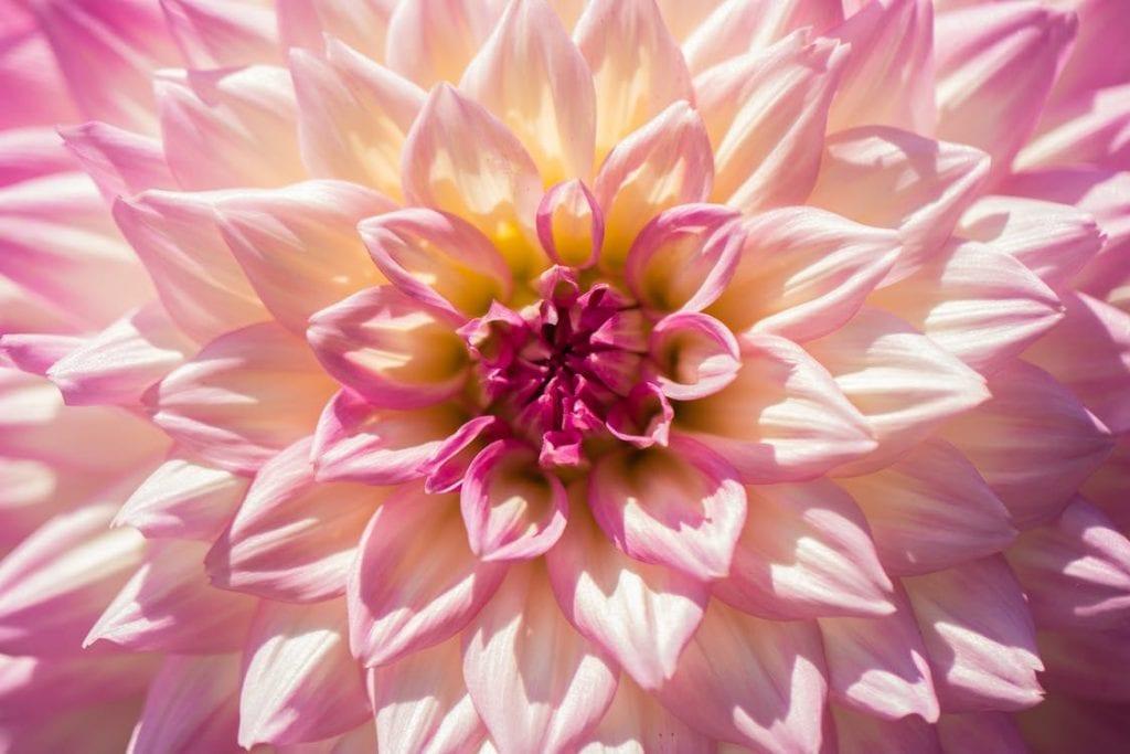 La dalia es una planta de fácil cultivo