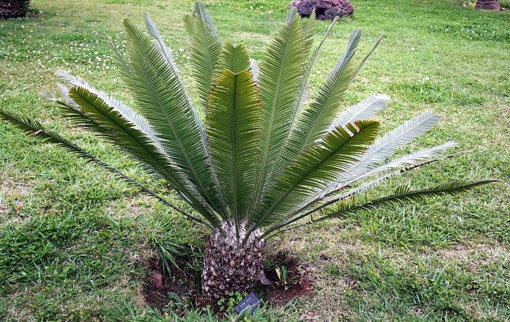 El Dioon edule es un arbusto