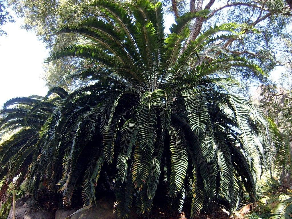 El Encephalartos woodii es una cícada
