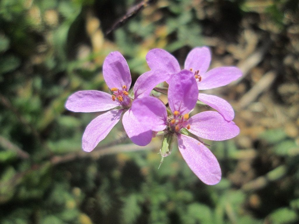Las flores del Erodium cicutarium son rosas