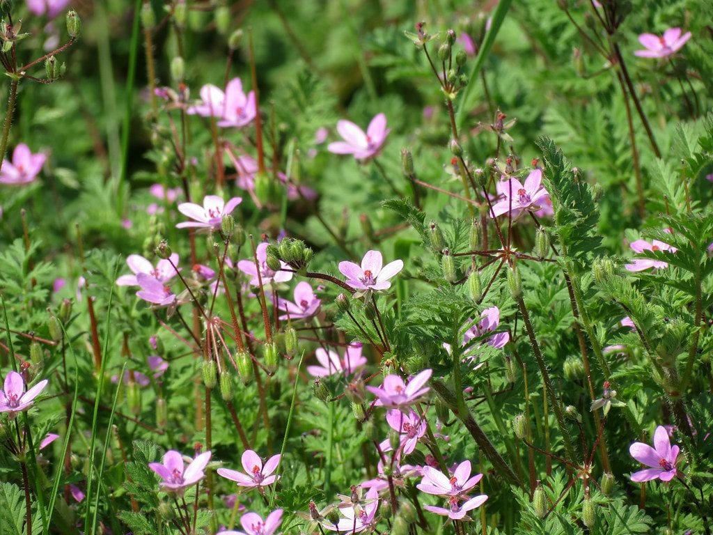 El Erodium cicutarium es una planta preciosa