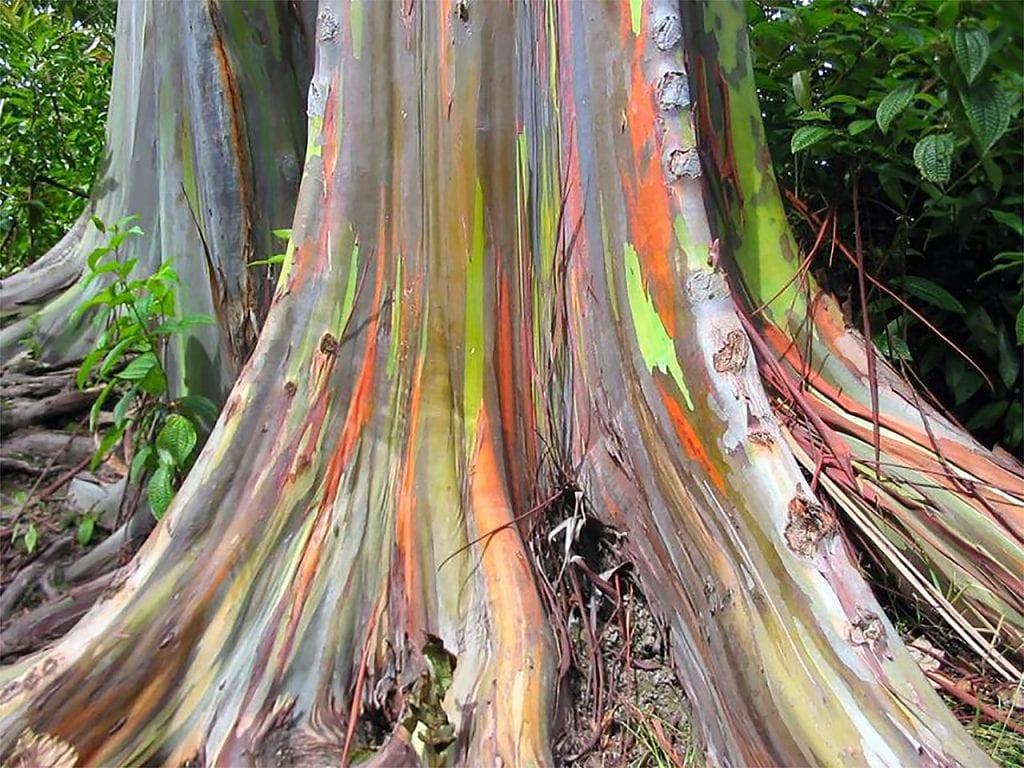 El eucalipto arcoiris tiene el tronco multicolor