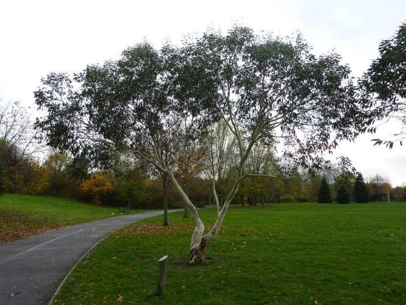 El Eucalyptus gunnii es un árbol de rápido crecimiento