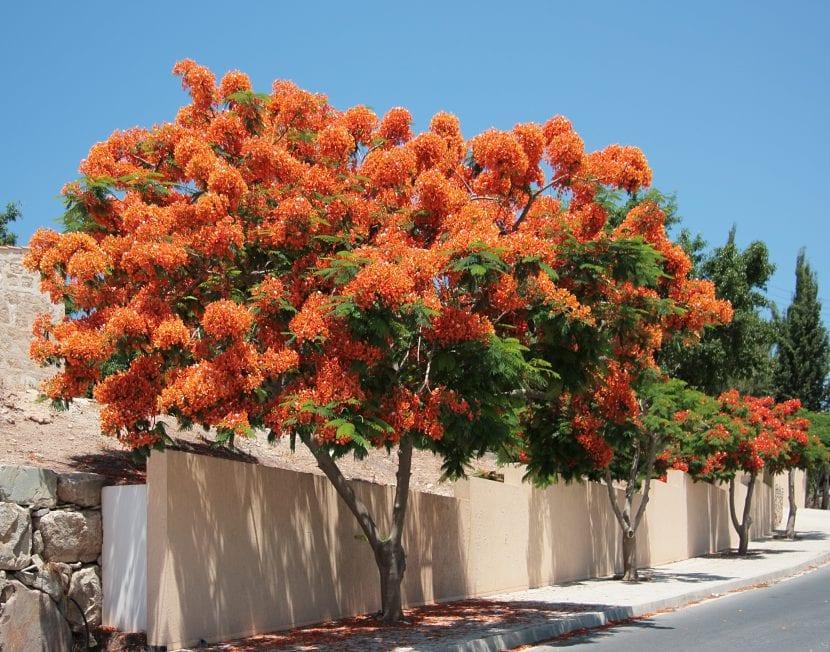 El flamboyan es un árbol muy decorativo