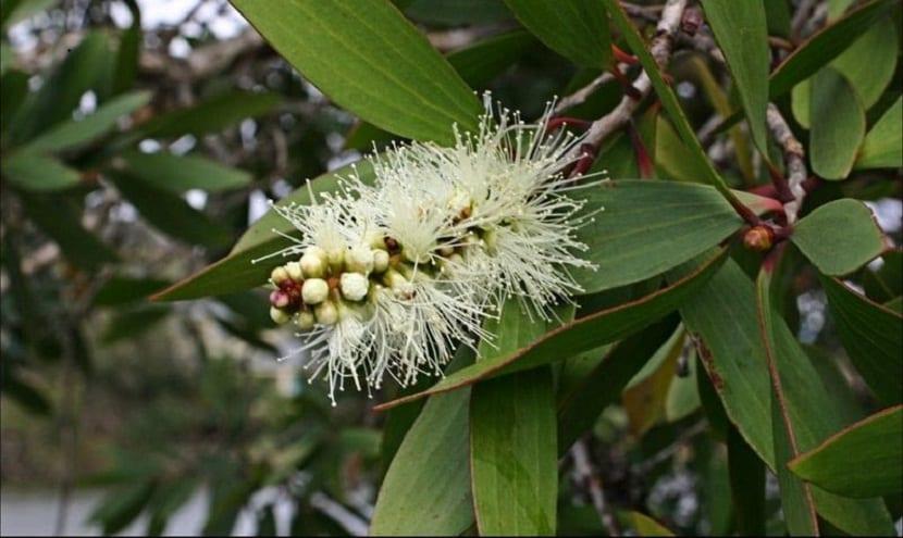 flor de cerca de una rama del Melaleuca quinquenervia