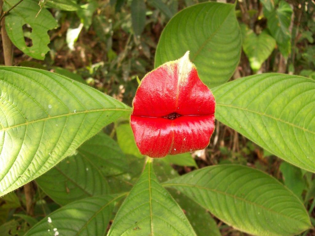 La flor del beso es roja